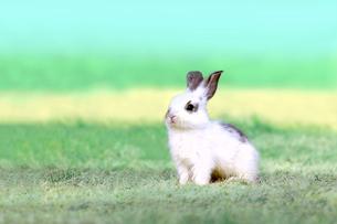 草地で遠くをみつめる白い子ウサギ1匹。自然,小動物,ペット,癒し,リラックスイメージの写真素材 [FYI03453136]