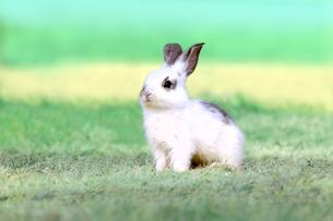 草地で遠くをみつめる白い子ウサギ1匹。自然,小動物,ペット,癒し,リラックスイメージの写真素材 [FYI03453137]