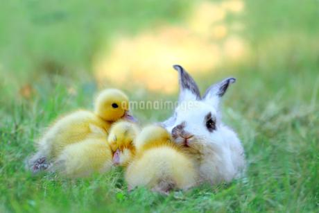 草地でアヒルの雛達と一緒の子ウサギ。自然,小動物,仲良し,癒し,リラックス,イメージの写真素材 [FYI03453139]