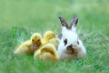 草地でアヒルの雛達と一緒の子ウサギ。自然,小動物,仲良し,癒し,リラックス,イメージの写真素材 [FYI03453140]