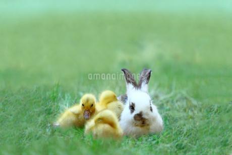 草地でアヒルの雛達と一緒の子ウサギ。自然,小動物,仲良し,癒し,リラックス,イメージの写真素材 [FYI03453142]