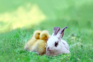 草地でアヒルの雛達と一緒の子ウサギ。自然,小動物,仲良し,癒し,リラックス,イメージの写真素材 [FYI03453143]