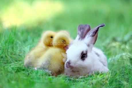 草地でアヒルの雛達と一緒の子ウサギ。自然,小動物,仲良し,癒し,リラックス,イメージの写真素材 [FYI03453144]