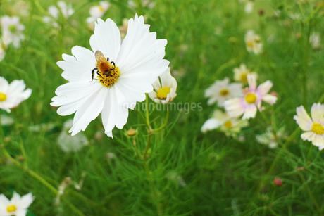 コスモスとミツバチの写真素材 [FYI03453181]