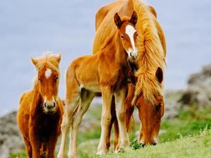 与那国馬の写真素材 [FYI03453218]