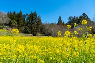 春の菜の花沿線・小湊鉄道の写真素材 [FYI03453396]
