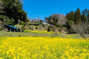 春の菜の花沿線・小湊鉄道の写真素材 [FYI03453397]