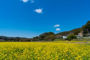 春の菜の花沿線・小湊鉄道の写真素材 [FYI03453403]