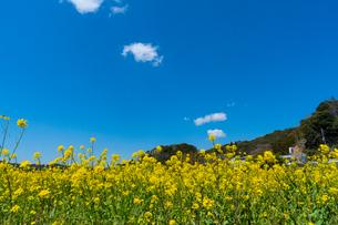 春の菜の花沿線・小湊鉄道の写真素材 [FYI03453404]