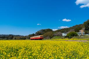 春の菜の花沿線・小湊鉄道の写真素材 [FYI03453405]