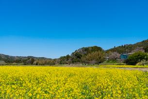 春の菜の花沿線・小湊鉄道の写真素材 [FYI03453413]
