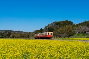 春の菜の花沿線・小湊鉄道の写真素材 [FYI03453418]