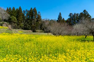 春の菜の花沿線・小湊鉄道の写真素材 [FYI03453421]