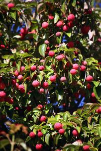 常緑ヤマボウシの実が熟すの写真素材 [FYI03453422]