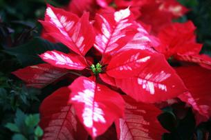 ポインセチアの美しい葉の写真素材 [FYI03453424]