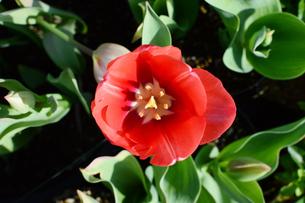 真上から見た赤いチューリップの花の写真素材 [FYI03453579]