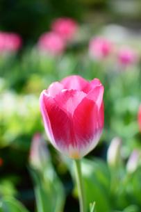 赤いチューリップの花の写真素材 [FYI03453580]