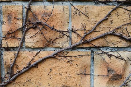 赤レンガを這う枯れ枝の写真素材 [FYI03453587]