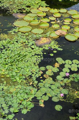 蓮と睡蓮の葉が浮かぶ池の写真素材 [FYI03453588]