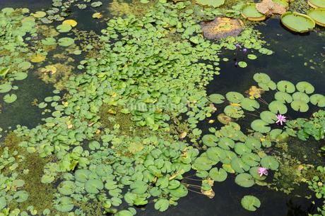 蓮と睡蓮の葉が浮かぶ池の写真素材 [FYI03453589]
