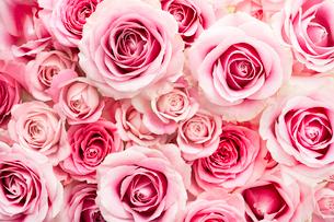 一面のピンクのバラの花の写真素材 [FYI03453882]