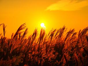 夕日とススキの写真素材 [FYI03454008]
