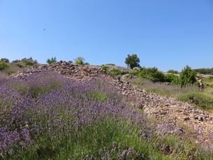 クロアチア、フヴァル島のラベンダー畑の写真素材 [FYI03454119]