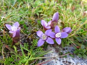 草原に咲く紫の花の写真素材 [FYI03454129]