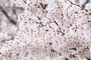 満開の桜の写真素材 [FYI03454238]