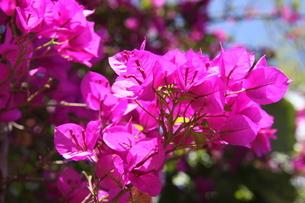 ブラジルで咲くブーゲンビリアの写真素材 [FYI03454240]