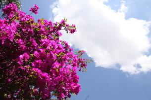 ブラジルで咲くブーゲンビリアの写真素材 [FYI03454241]