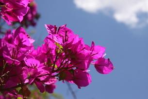 ブラジルで咲くブーゲンビリアの写真素材 [FYI03454242]