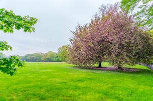 セントラルパーク グレートローンに咲く二本の桜の木の写真素材 [FYI03454395]