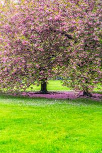 セントラルパーク グレートローンに咲く二本の桜の木の写真素材 [FYI03454396]