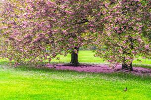 セントラルパーク グレートローンに咲く二本の桜の木の写真素材 [FYI03454399]
