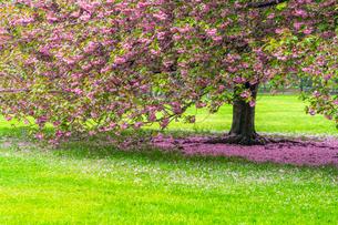セントラルパーク グレートローンに咲く二本の桜の木の写真素材 [FYI03454400]