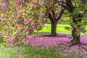 セントラルパーク グレートローンに咲く二本の桜の木の写真素材 [FYI03454401]