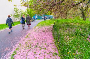 セントラルパーク無数の桜の花びらに覆われる芝生と小道を行き交う人々の写真素材 [FYI03454411]