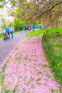 セントラルパーク無数の桜の花びらに覆われる芝生と小道を行き交う人々の写真素材 [FYI03454412]