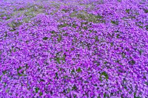 春の房総半島・東京ドイツ村の写真素材 [FYI03454507]
