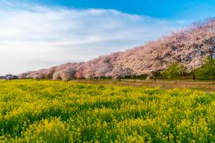 桜と菜の花満開の権現堂堤の写真素材 [FYI03454551]