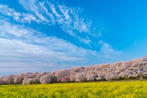 桜と菜の花満開の権現堂堤の写真素材 [FYI03454552]