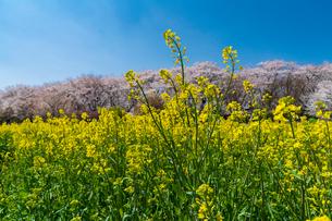 桜と菜の花満開の権現堂堤の写真素材 [FYI03454566]