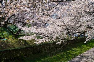 桜と菜の花満開の権現堂堤の写真素材 [FYI03454567]
