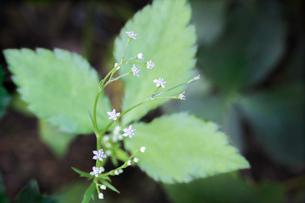 ミツバの花の写真素材 [FYI03454579]