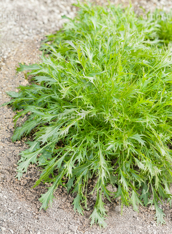 畑で栽培されている水菜の写真素材 [FYI03454580]