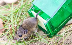 ネズミ捕り器から解放されたネズミの写真素材 [FYI03454582]