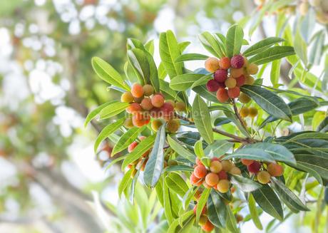 ヤマモモの木と果実の写真素材 [FYI03454583]