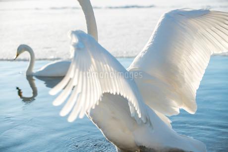白鳥の翼の写真素材 [FYI03454628]