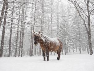 冬のどさんこの写真素材 [FYI03454671]